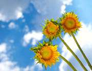 گل آفتابگردان زیباست(عکس)