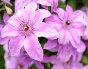 اسطوخودوس، گل