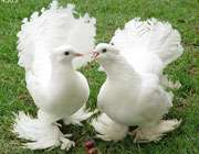 قصه دو کبوتر عاشق