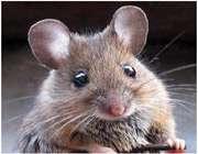 موشهای آوازخوان در ژاپن!