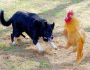 dog & rooster fighting