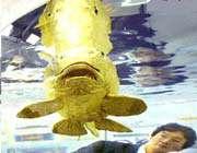 السمکة الذهبية