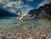 nature_ swan