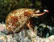 حلزون مخروطی