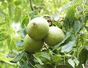 blackwalnut tree