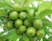 گوجه سبز؛ نوبرانه ی این روزها