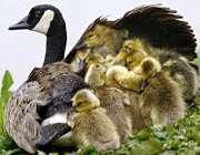 حیوان حیوانات اردک