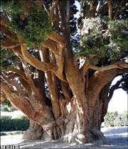 درخت کهن در یزد