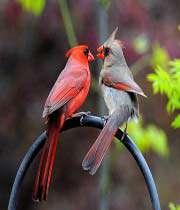 طائر الكاردينال