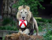 footbalist lion