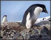 criminal_penguins