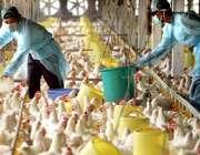 آنفلوآنزای مرغی چیست؟