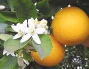 مروری بر خواص نارنج و بهارنارنج