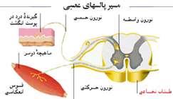 هماهنگی و ارتباط بدن(دستگاه عصبی)