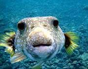 السمك البخاخ