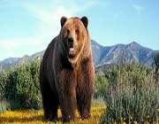 great bear