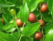 عناب یک میوه ناب