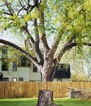 درخت همسایه