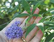 گیاه پنج انگشت