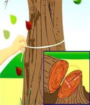 تعیین سن درخت