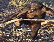 شامپانزهای که غذا میپزد!