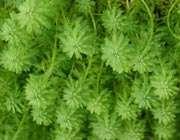 تولید مثل جنسی در گیاهان بدون دانه
