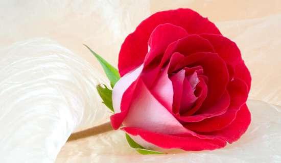 گل سرخ