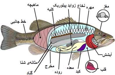 عکس از تشریح ماهی