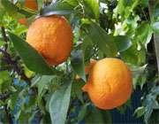 فواید نارنج و گل آن