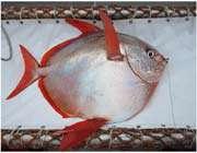 دانشمندان اولین ماهی خون گرم را یافتند!
