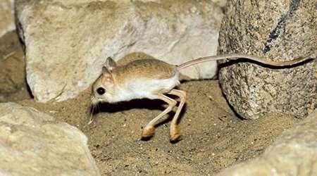 يرموع، موشي عجيب با بدن کانگورو!