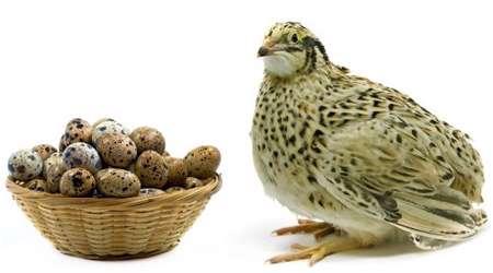 خواص تخم بلدرچین برای سلامتی