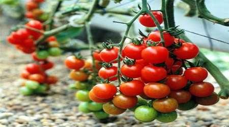 <a href='http://tebyan.niloblog.com/p/339'>بررسی</a> اثر استفاده از کودهای مختلف بر روی بوته گوجه فرنگی