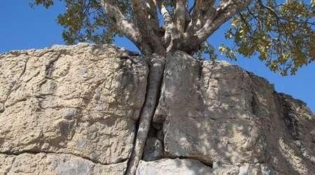 رفسنجان، درخت در سنگ