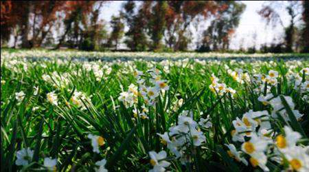 بهار نرگس زار بهبهان در زمستان