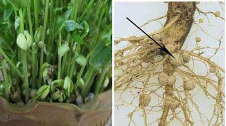 اثر  تلقیح باکتری ریزوبیوم بر محصولات کشاورزی