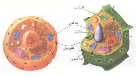 اندازه گیری غلظت سلول های گیاهی و جانوری، جلسه دوم