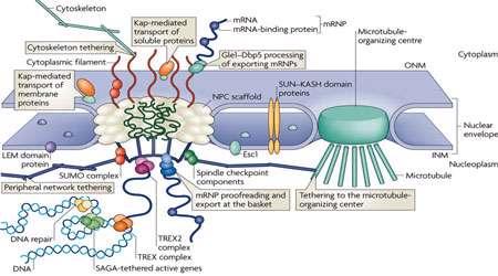 ورود پروتئین ها به هسته (1)