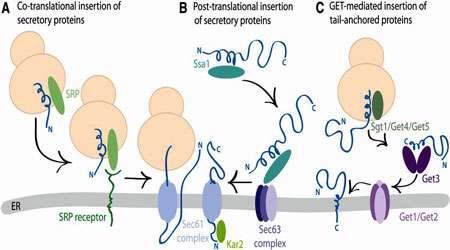 ورود پروتئین ها به غشا (1)