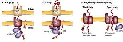 ورود پروتئین به میتوکندری (2)