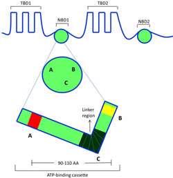 پروتئین ها در پراکسی زوم (بخش دوم)