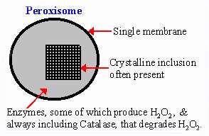 پروتئین ها در پراکسی زوم (بخش اول)