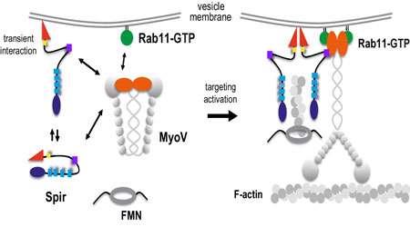 انتقال وزیکولی (بخش سوم)