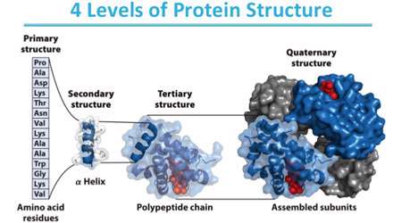 ساختار و عمل پروتئین ها (1)