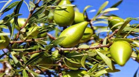 muskat – küçük hindistan ceviz