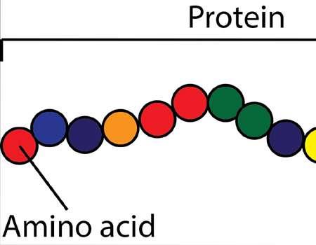 البروتين؛ أهميته والدلالات على نقصه في الجسم