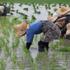 femme dans des champs de riz