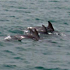 تصاویر دلفین ها در سواحل جزیره هنگام ، دلفین هادر خلیج فارس