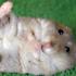 نوزاد موش خرما